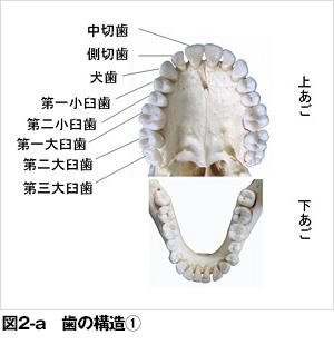 歯と歯ぐきと歯を支える骨の構造 - 歯とお口のことなら何でも ...